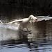A swan landing ! by vjdj69
