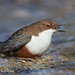 Wasseramsel, White-throated Dipper (Cinclus cinclus) by Michael Bräunicke