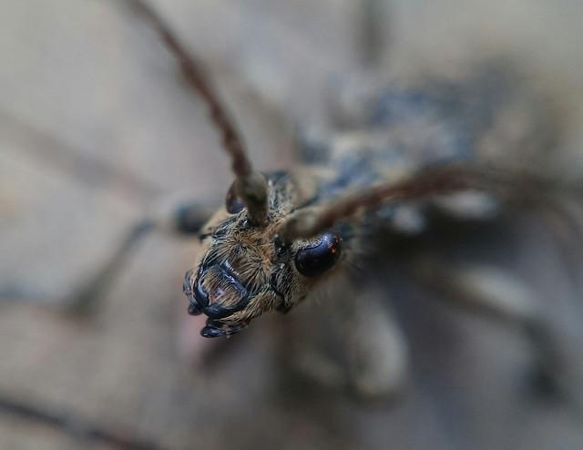 Rhagium sycophanta - tölgyes-tövisescincér