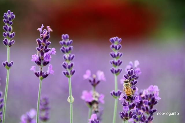 ラベンダーとバラと蜂