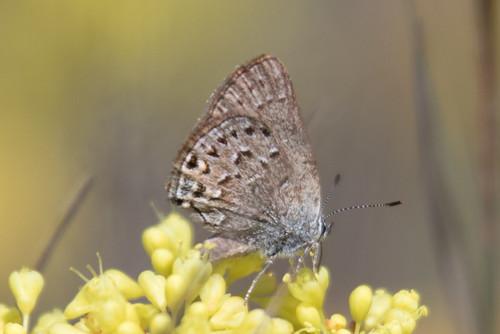 oregon unitedstates butterflies satyriumbehrii behrshairstreak chiloquin klamathmarshnationalwildliferefugeentranceroad