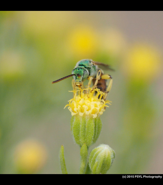 Unknown Megachilid bee