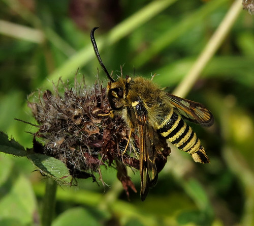 Six-belted Clearwing Bembecia ichneumoniformis Tophill Low NR, East Yorkshire July 2015