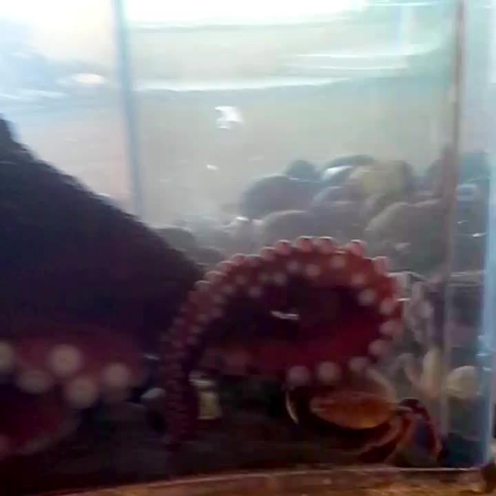 Giant Pacific Octopus feeding