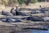 Young male elephant seals at Año Nuevo State Park #2 by satoshikom