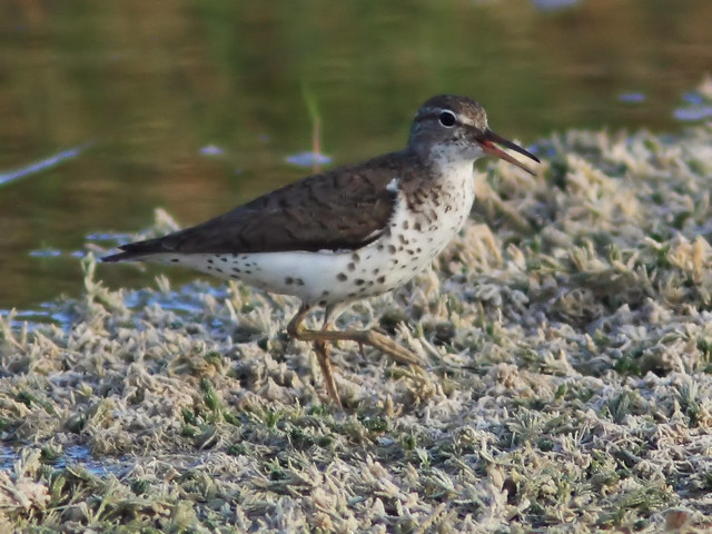 Spotted Sandpiper 6-20150729
