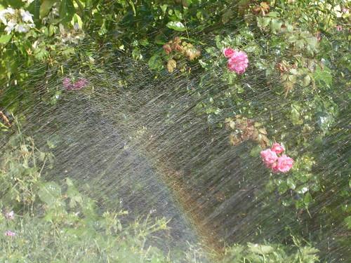 Rose mit Regenbogen
