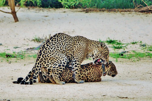 Mating Ritual of Jaguars