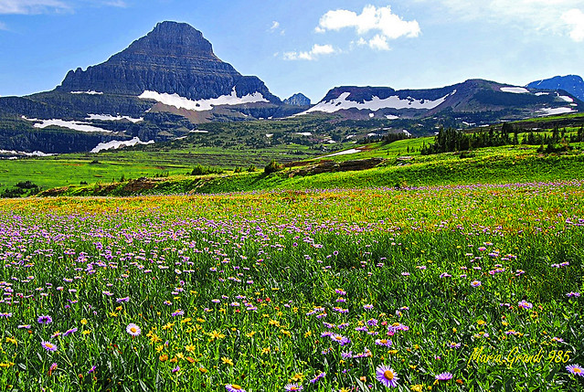 THE COLORS of WILD FLOWERS at GLACIER PARK