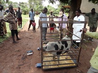 Weighing pigs in Kamuli, Uganda
