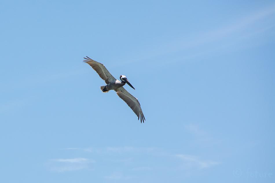 Pruun, pelikan, Pelecanus, occidentalis, Brown, Pelican, Brasilito, Nicoya, peninsula, Costa, Rica, Kaido Rummel