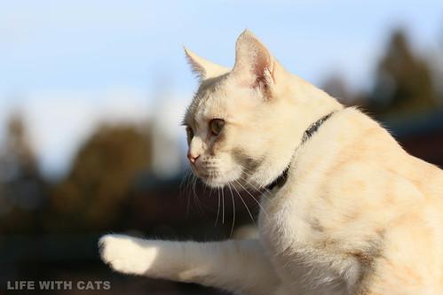 4T4A3889 Cream tabby Japanese cat 薄茶トラ猫