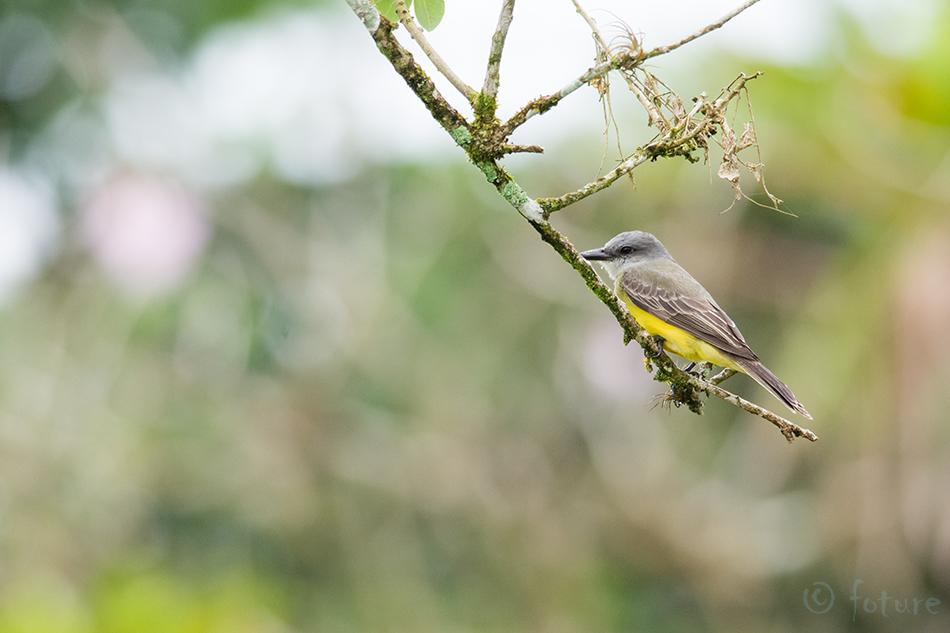 Lõuna, türanntikat, Tyrannus, melancholicus, Tropical, Kingbird, Nicoya, peninsula, Costa, Rica, flycatcher, Kaido Rummel