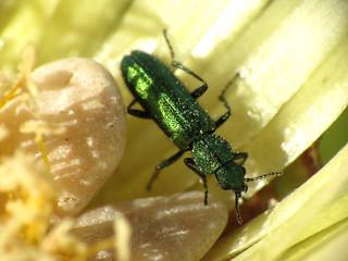 Soft-winged Flower Beetle