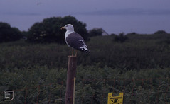 Gull and electric fence for goats. Mid Flatholm 29/05/92