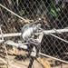 Angolan colobus