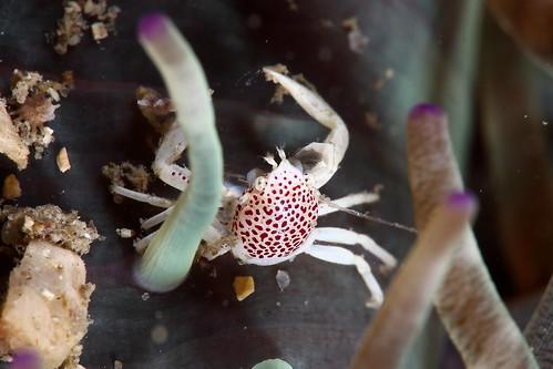 Neopetrolisthes maculatus 紅斑新岩瓷蟹 (?)