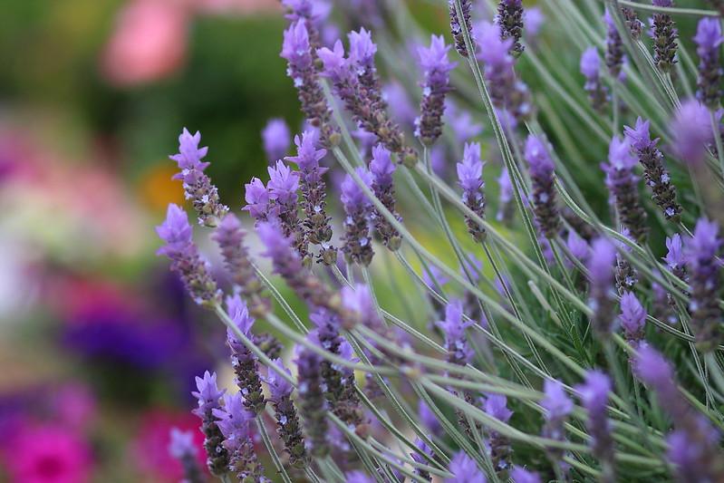 lavender ( Lavandula dentata )