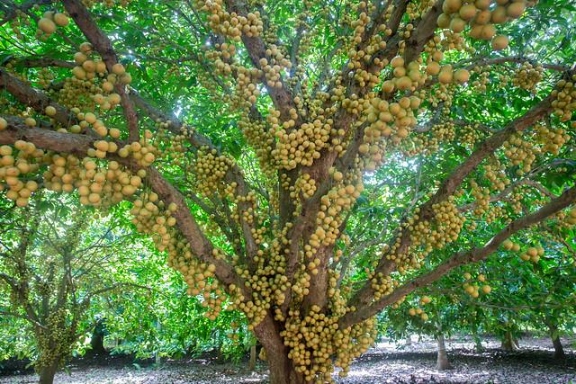Burmese Grapes ( Lotkon ) Appear in the tree