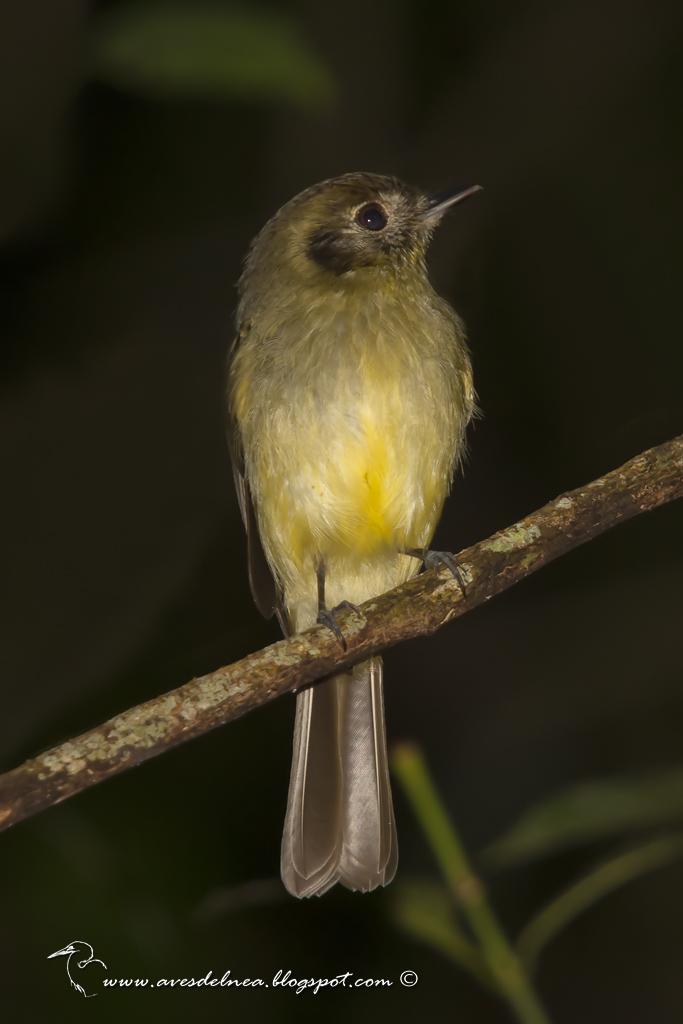 Mosqueta corona parda (Sepia-capped Flycatcher) Leptopogon amaurocephalus
