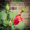 thursdays_rose-