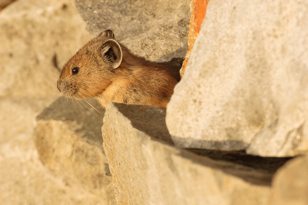 An American pika peaks out from a rock wall near sunset on the Pinnacle Peak Trail in the Paradise area of Mount Rainier National Park