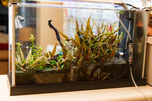 fluval spec v aquarium overgrown with low light cryptocoryne undulata plants