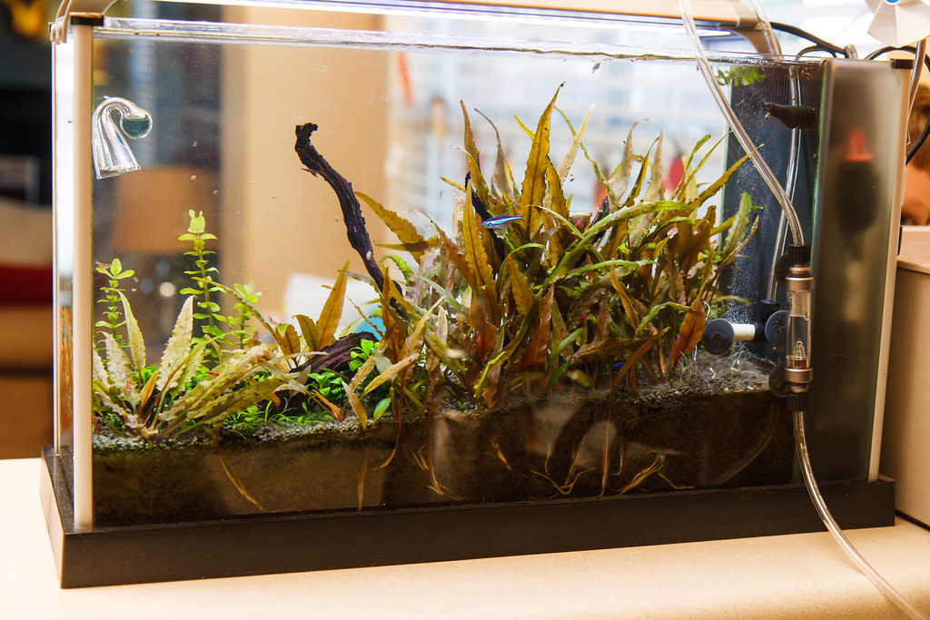 Good Fluval Spec V Aquarium Overgrown With Low Light Cryptocoryne Undulata Plants