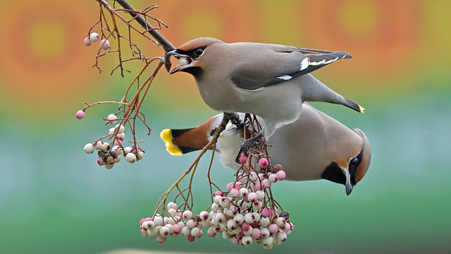 Waxwing (image 1 of 3)