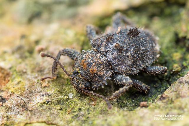 Cylindrical bark beetle (Hyberis araneiformis) - DSC_9372