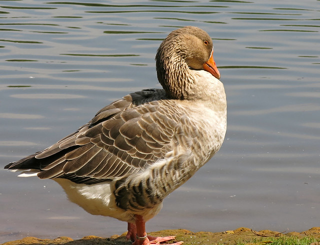 Slepless Goose