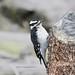 193. Hairy Woodpecker by Jan Nagalski (jannagal)