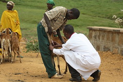 Testing sheep for diseases in Bako, Ethiopia