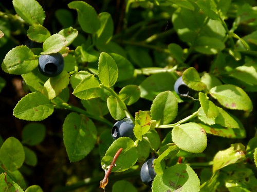 Arzberg - Heidelbeeren / Blueberries