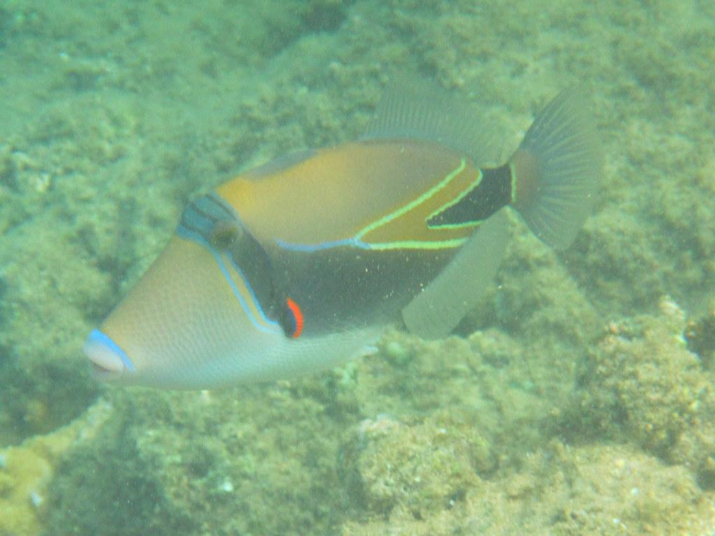 interesting flickr photos tagged reeftriggerfish picssr
