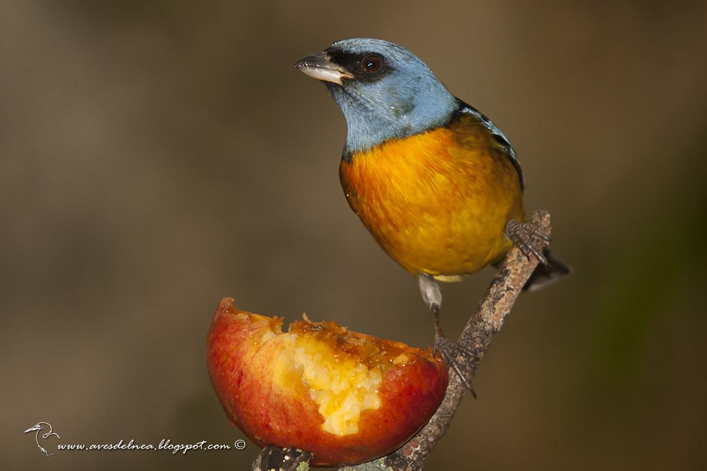 Naranjero (Blue-and-yellow Tanager) Pipraeidea bonariensis