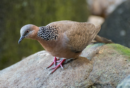 a11-spotted dove