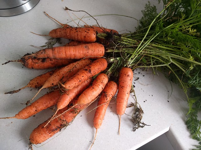 carrot planting in terrace garden by corvi
