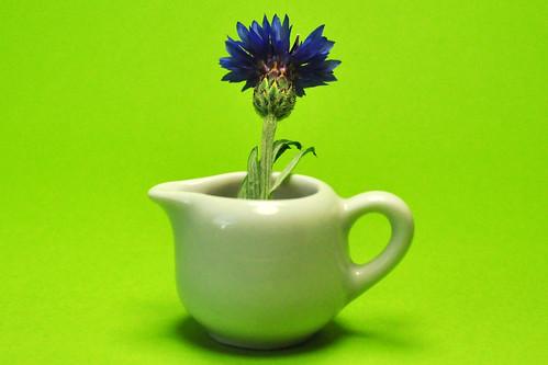 Kornblume Centaurea cyanus Zyane Flockenblume kornblumenblau Ackerpflanze
