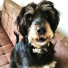 dog breed, animal, dog, schnoodle, pet, lã¶wchen, tibetan terrier, glen of imaal terrier, mammal, vulnerable native breeds, havanese, schnauzer, dandie dinmont terrier, bearded collie,