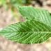 Small photo of Amaranthus retroflexus - leaf