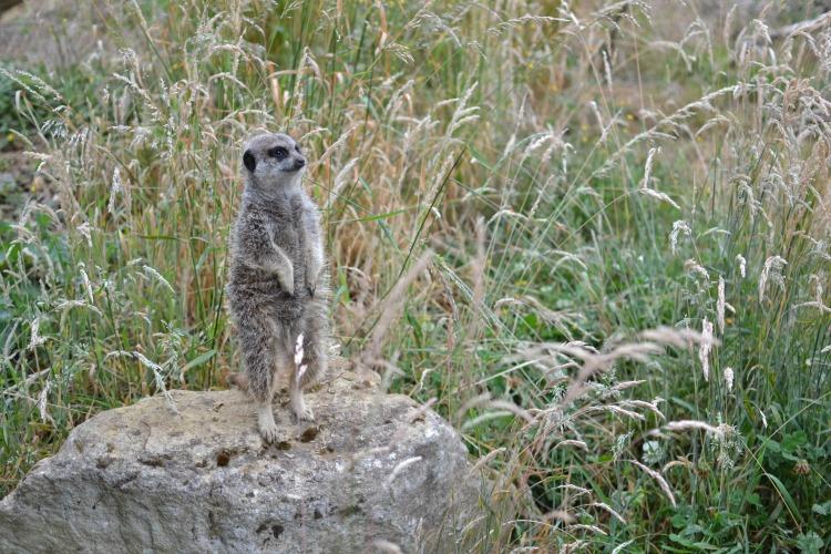 three standing meerkat