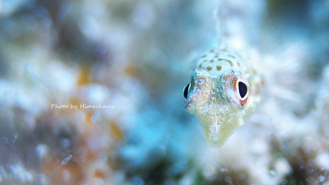 ヒメテグリ幼魚