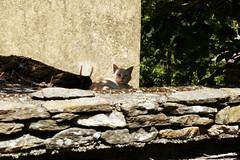 Chats des Cévennes