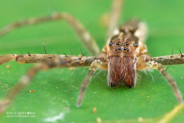 Nursery web spider (Pisauridae) - DSC_5547
