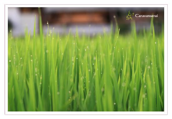 緑 草 水滴 自然