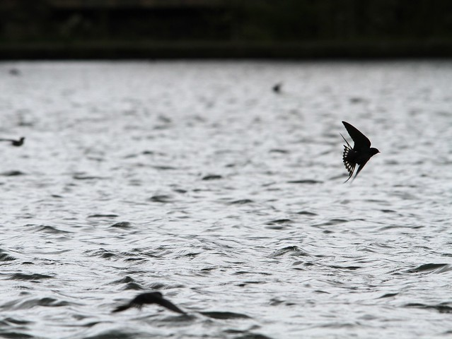 Swallows in Harold Park, Bradford
