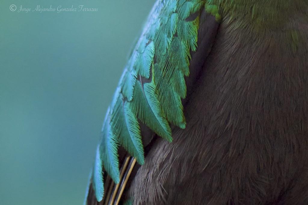 Hembra De Quetzal Resplendent Quetzal Pharomachrus Moci