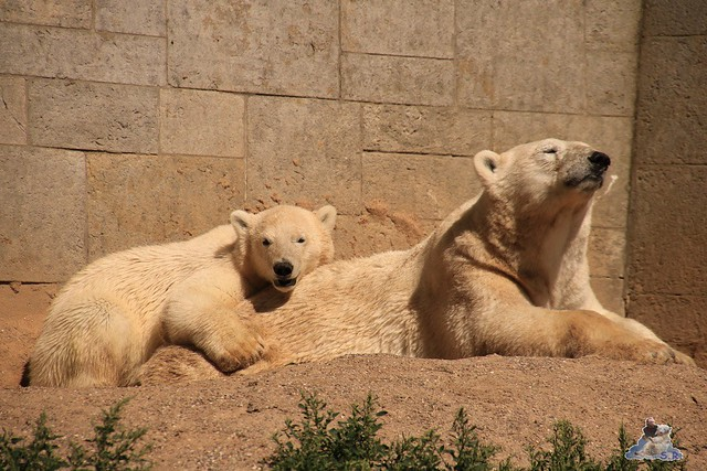 Eisbär Fiete im Zoo Rostock 0277