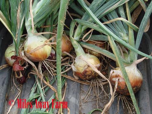 Copra Onions